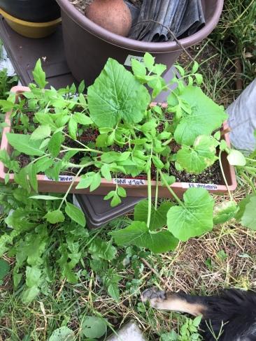 Las plantas ya tenían 4 semanas de haber germinado, calabaza, chile y jitomates